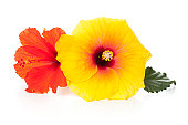 オレンジと黄色のハイビスカスの花、横たわっている