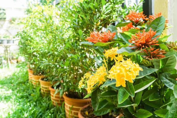 oranje en geel ixora in pot op achtertuin in huis tuin - pauwenkers stockfoto's en -beelden
