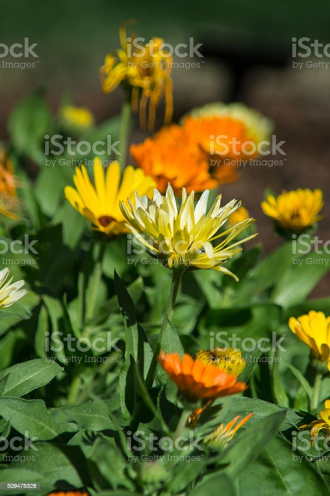 orange and yellow marigold flowers in bed stock photo