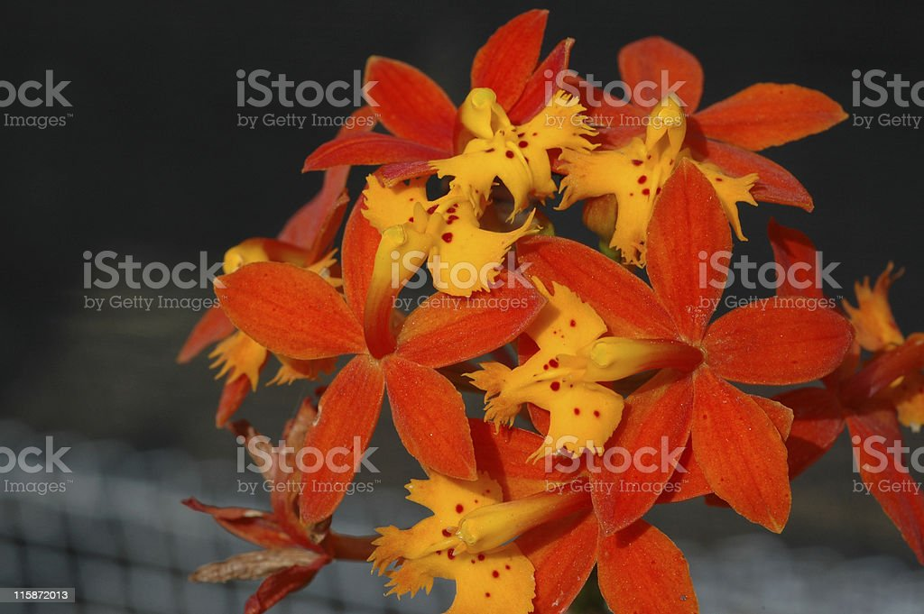 orange and yellow orchid flowers stock photo