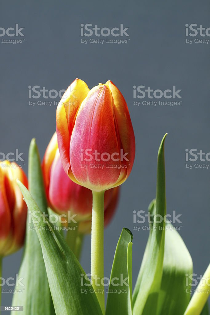 Orange and Yellow Tulips royalty-free stock photo
