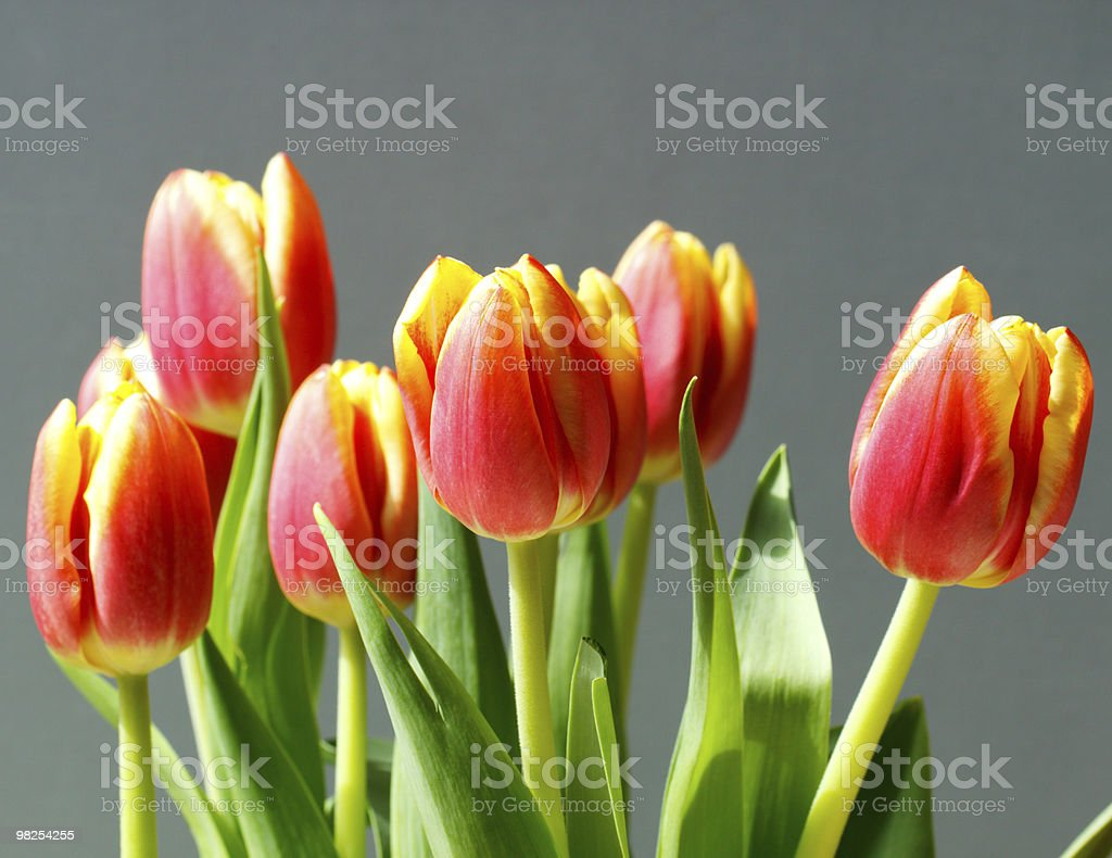 Orange and Yellow Tulips royalty-free stock photo