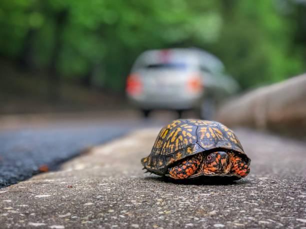 Tortue voiture banque d 39 images et photos libres de droit istock - Voiture tortue ...