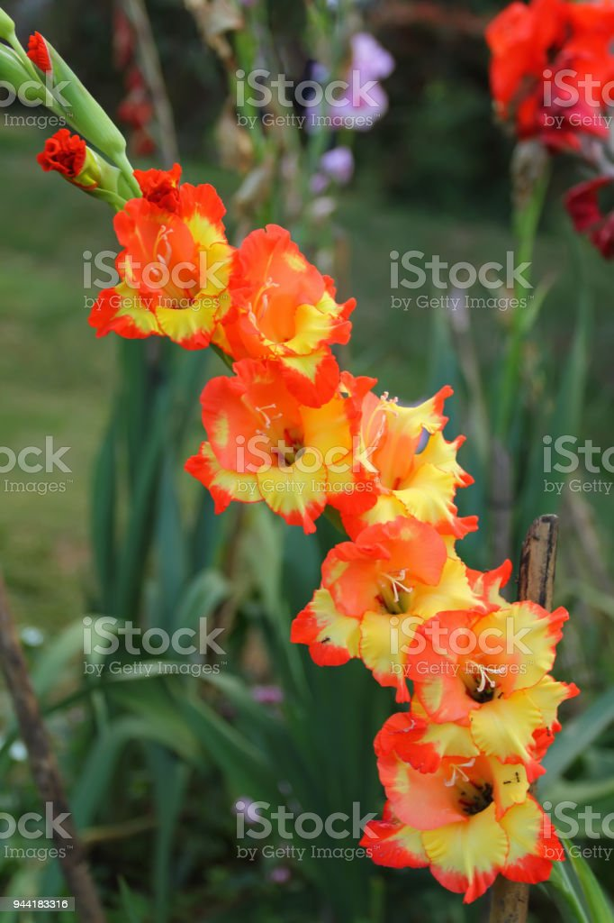 orange and Yellow Vanda orchid stock photo