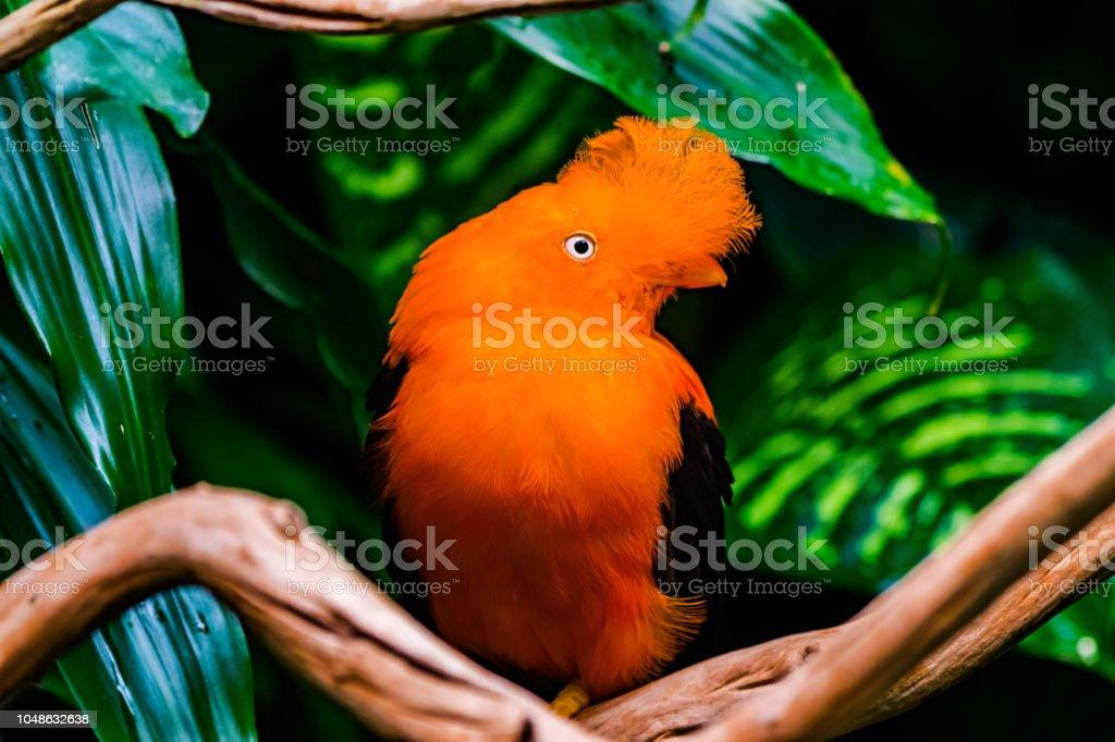 Orange Anden Schwanz des Vogels Rock – Foto