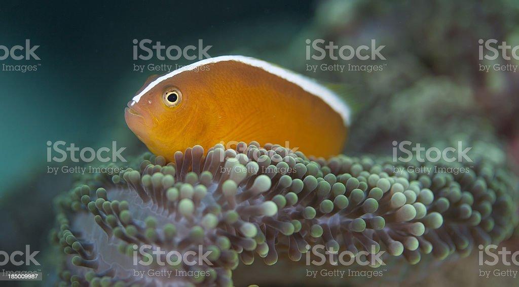 Orange Anemonefish stock photo
