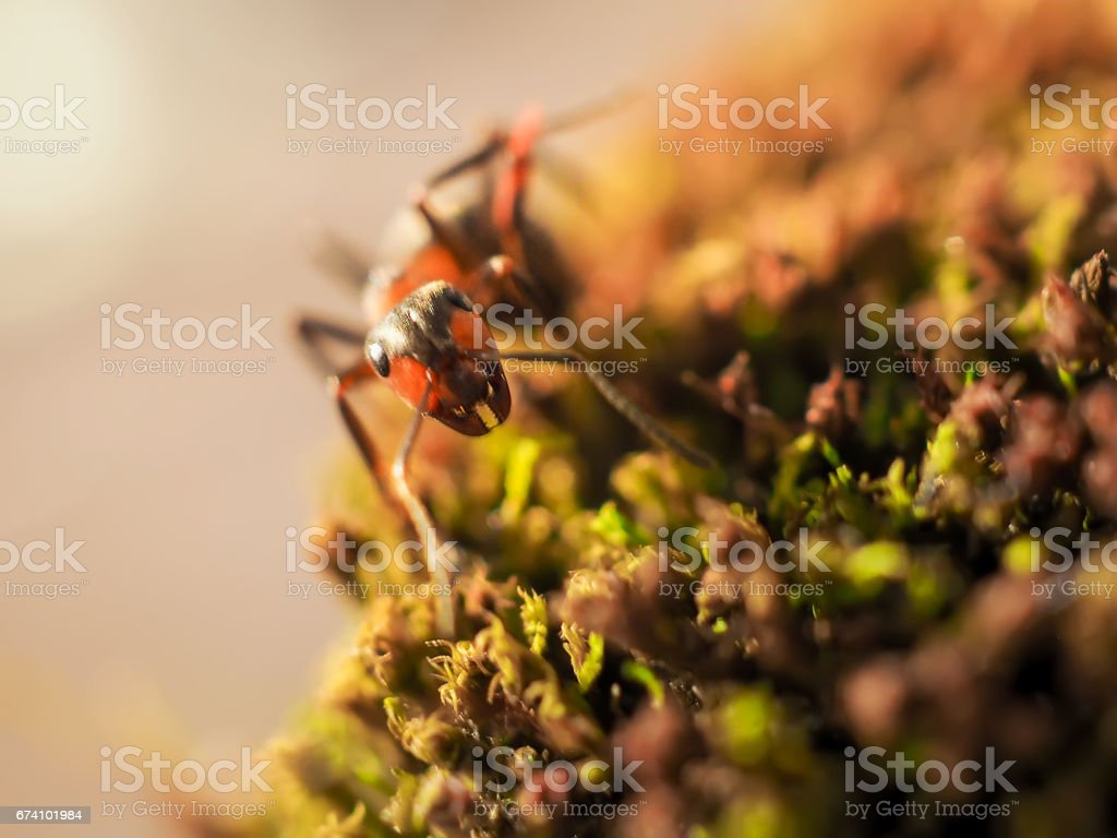 Orange ant on green moss while explorer small world royalty-free stock photo