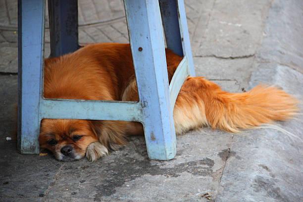 orange asiatische hund schläft - hund unter treppe stock-fotos und bilder