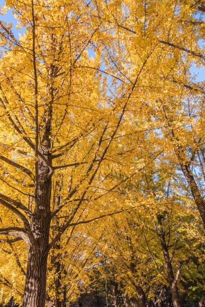 Orange autumn leaves on Nami Island in South Korea stock photo