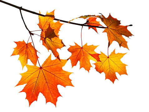 orange autumn maple leaves isolated on white