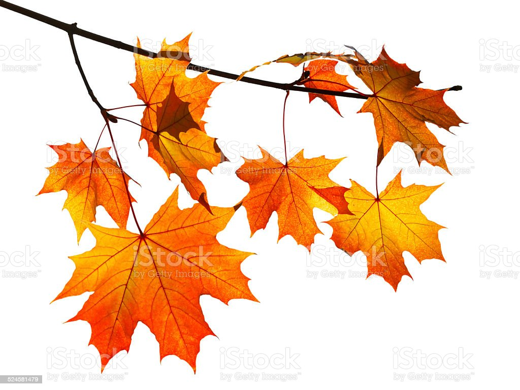 orange autumn maple leaves isolated on white stock photo