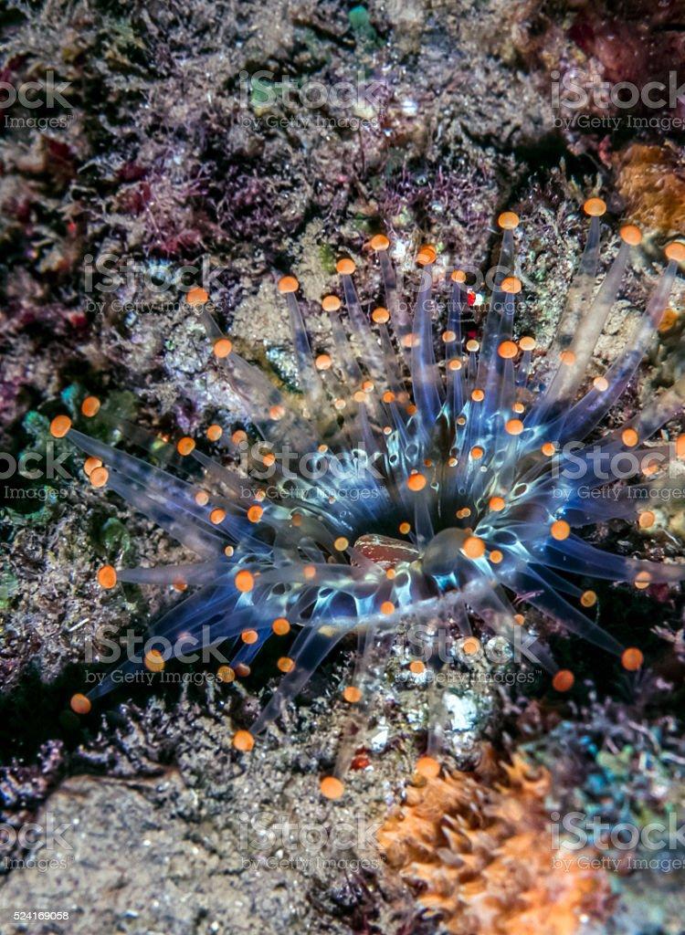 Orange Ball Corallimorph, Pseudocorynactis Caribbeorum stock photo