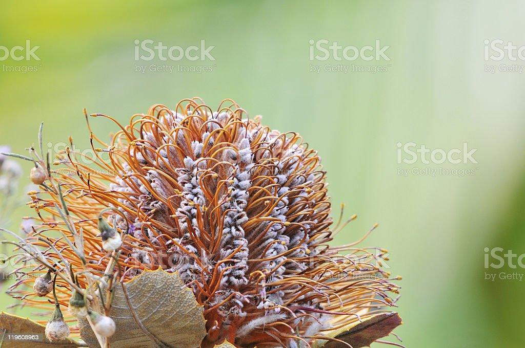 Orange Banksia flower closeup stock photo