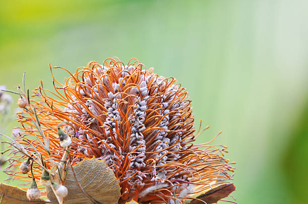 Orange Banksia flower closeup stock photo
