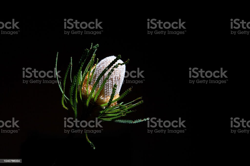 Orange Banksia flower on black background with copy space stock photo