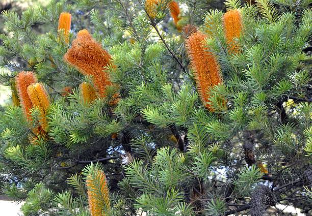 orange Banksia – Foto