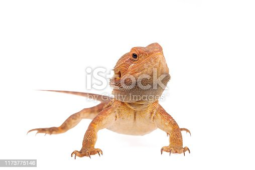 Hypo trans red genetic stripe Bearded dragon white background