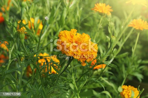 Orange beautiful flowers in the garden. They are often called Mexican, Aztec or African marigold, Tagetes .