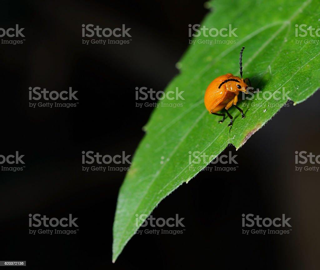 orange beetle on green leaf. zbiór zdjęć royalty-free