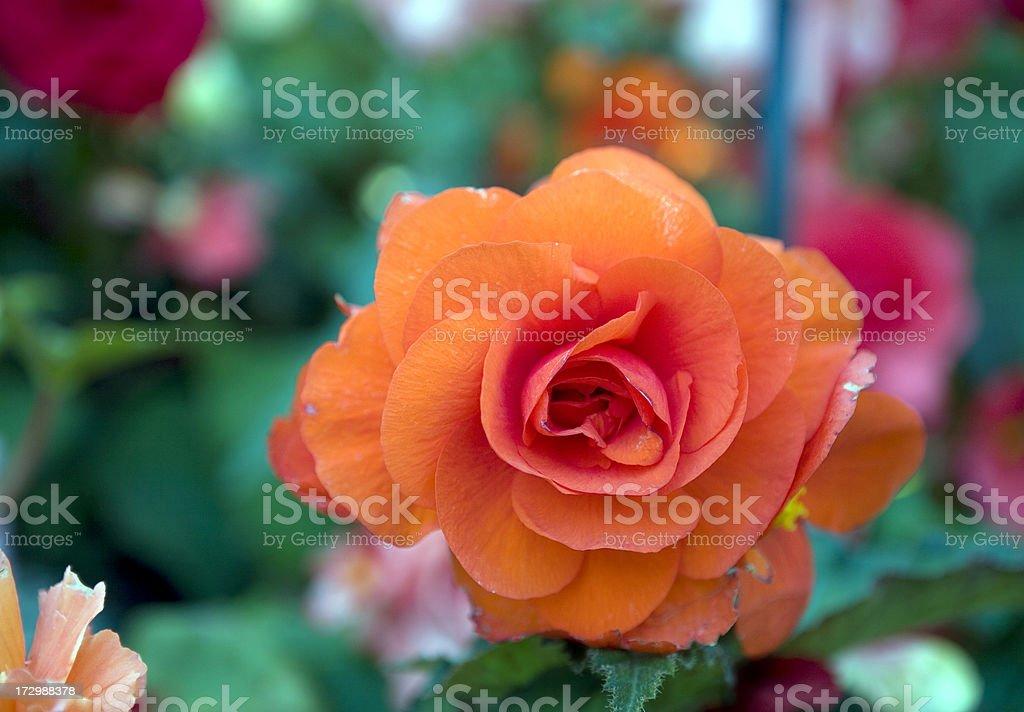 Orange Begonia Close Up stock photo