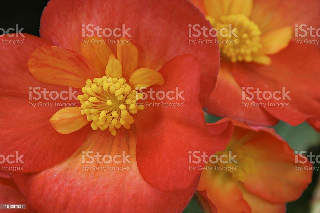 Orange Begonia Close-up stock photo