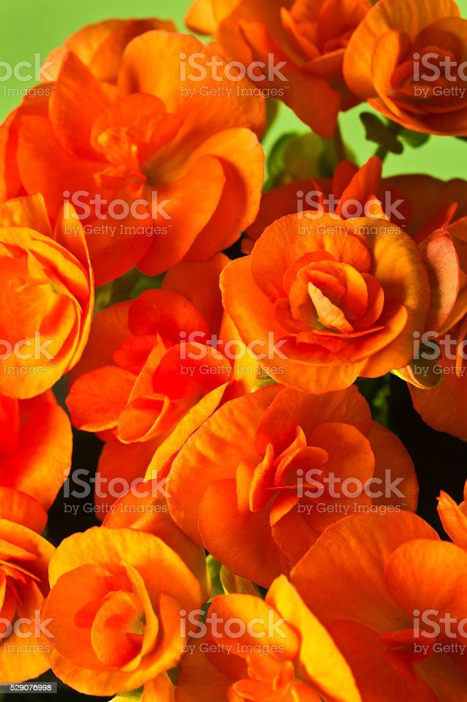 Orange Begonia Flower Close-up stock photo