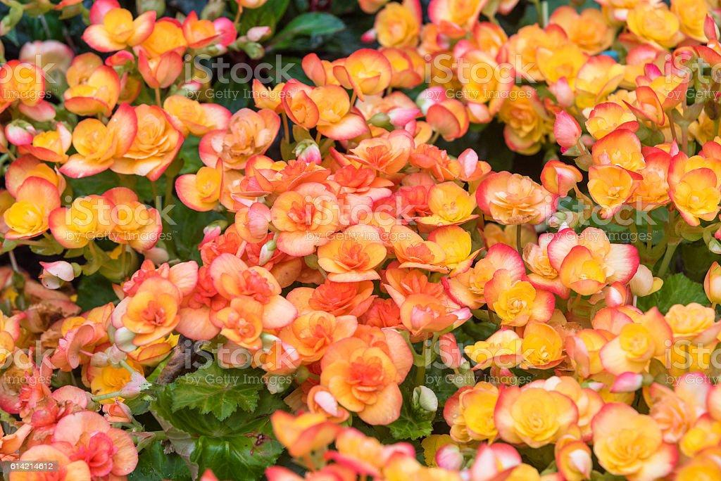 orange begonia flowers blooming in the garden stock photo