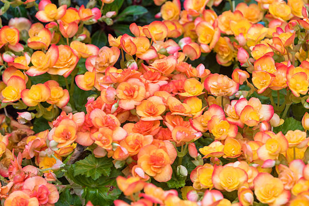 orange begonia flowers blooming in the garden foto