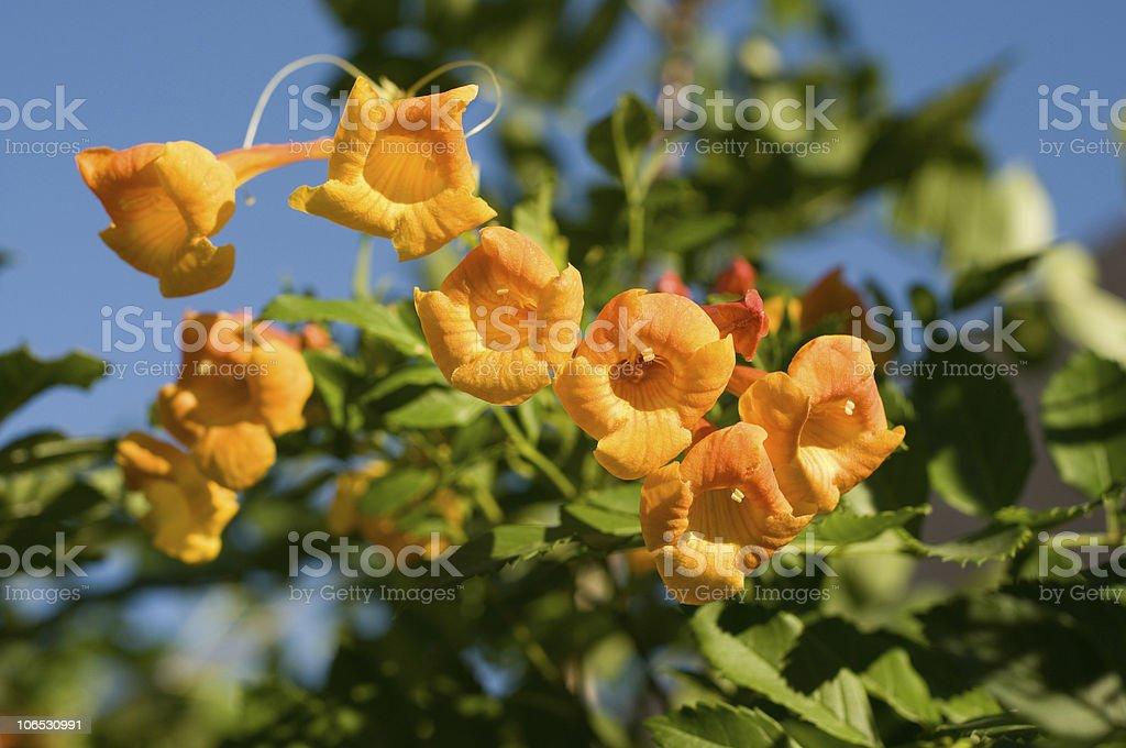 Orange Bells stock photo