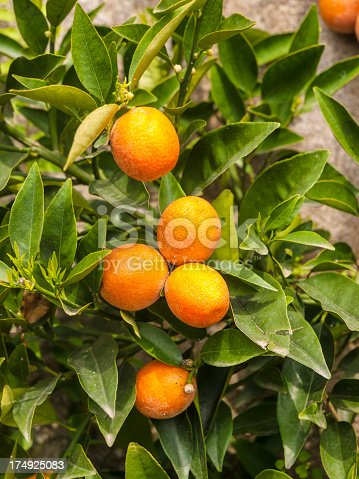 A bergamot fruit, lots of fruit in a sunny summer day, on the wall.