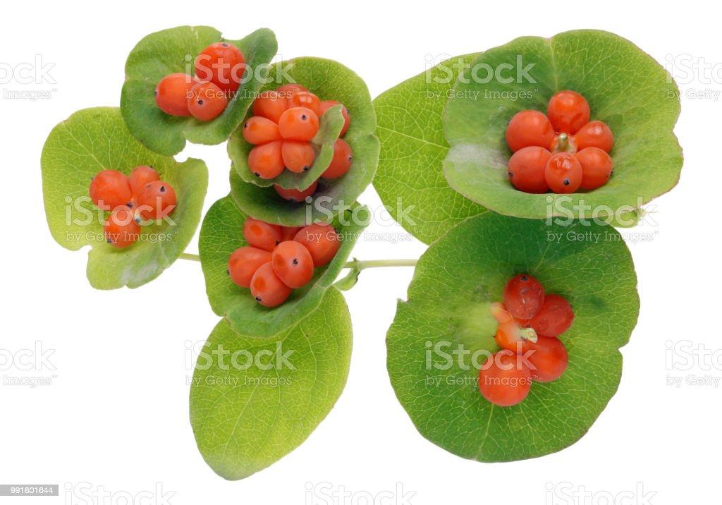 Orange Berries And Green Leaves Of Decorative Garden Honeysuckle