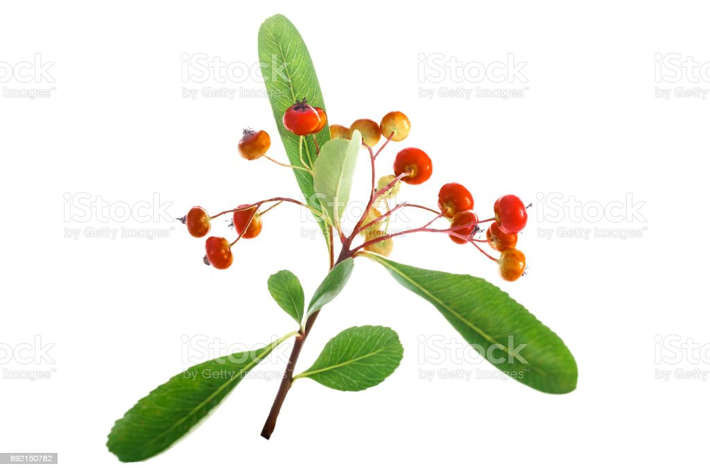 Orange berries of hawthorn with leaves isoleted on white background stock photo