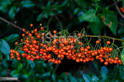 Pyracantha or firethorn is a common thorny hedge plant that bursts with orange berries in autumn. Hedges are thick, spiky and impenetrable. The orange berries (pomes) are tasteless, while the seeds are poisonous. Bright berries with dark background for contrast.