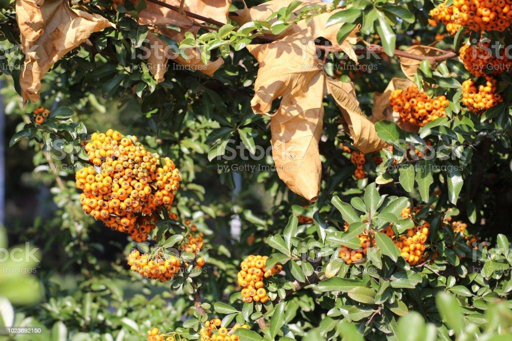 orange berries stock photo