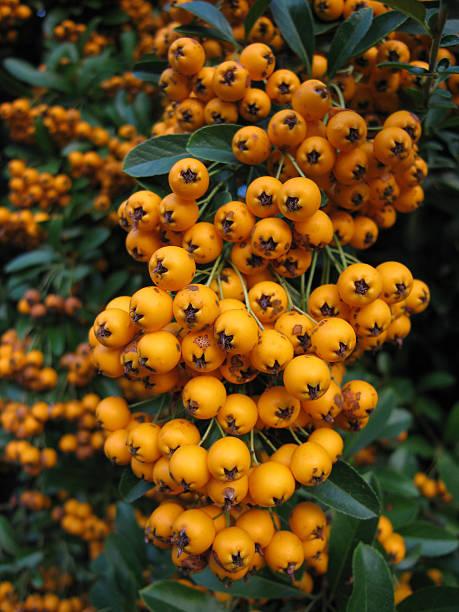 orange berries pyracantha - fsachs78 stockfoto's en -beelden