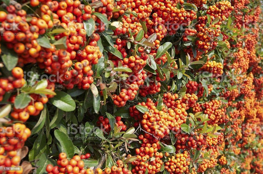 orange berry royalty-free stock photo