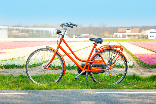 Orange bicycle next to a field of hyacinths. Dutch spring landscape
