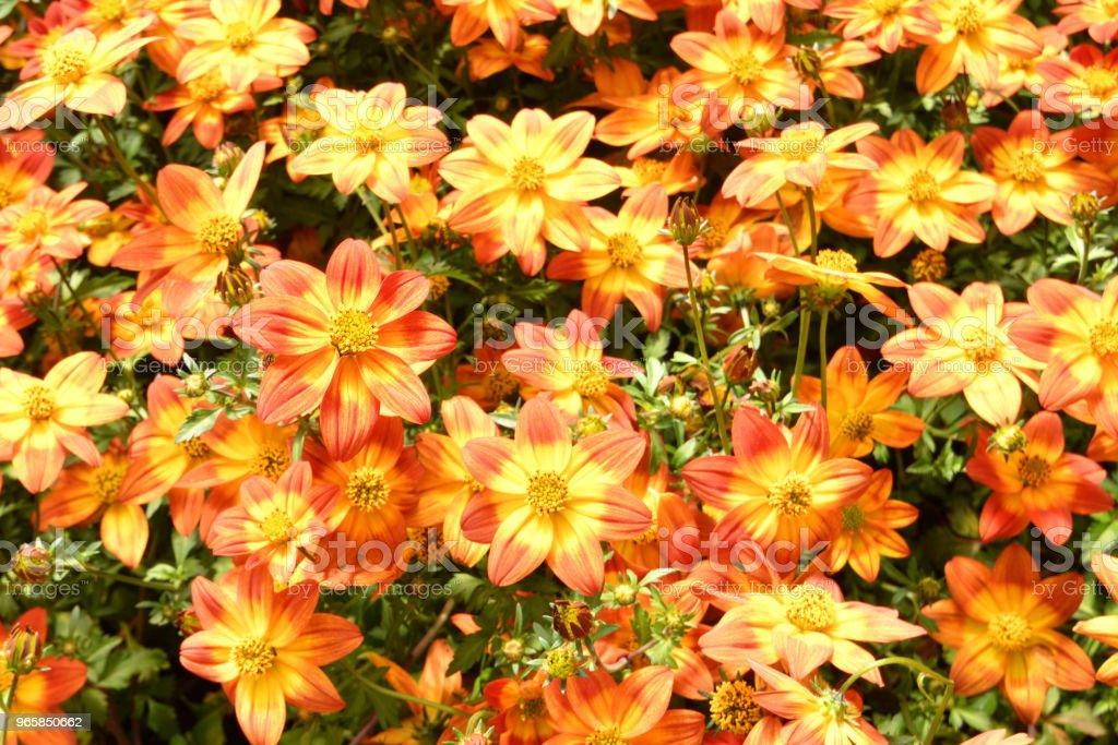 Orange Biden Flowers Close Up - Royalty-free Backgrounds Stock Photo