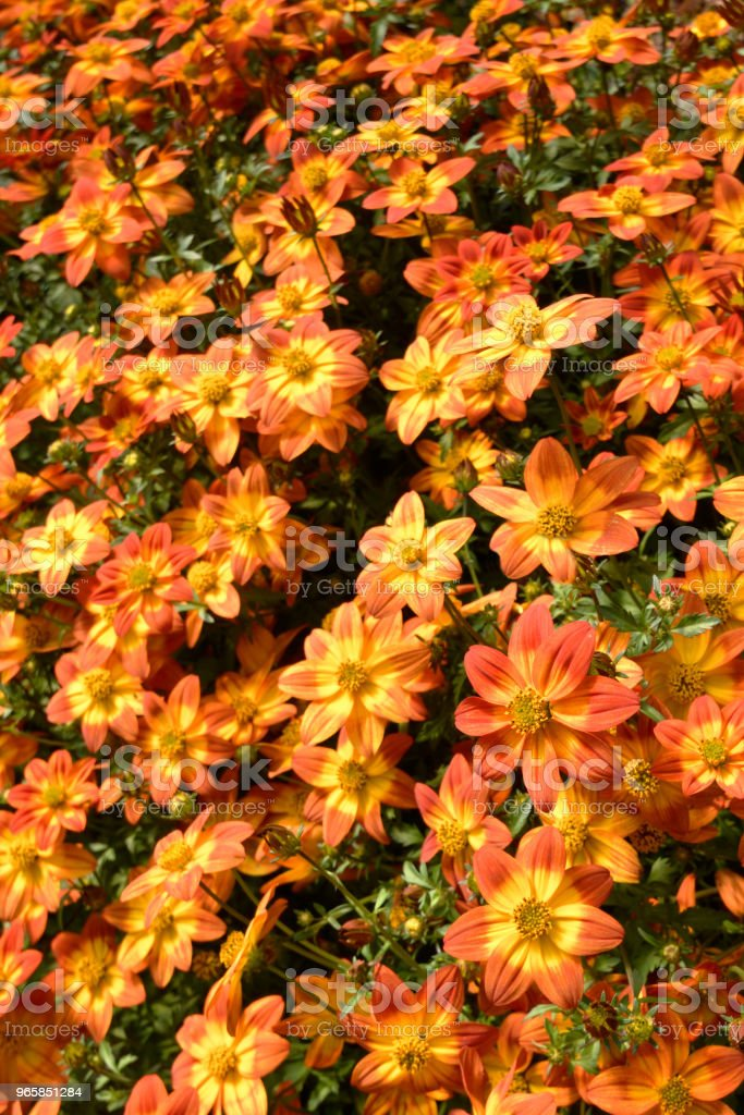 Orange Biden Flowers Close Up - Royalty-free Backgrounds Stock Photo