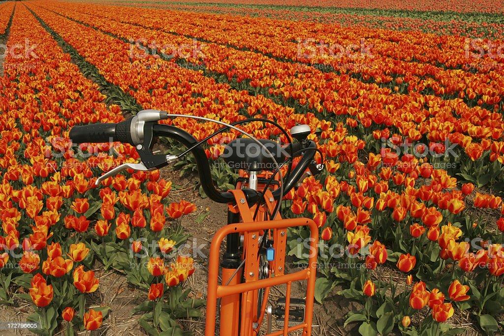 orange bike & tulips orange bike & tulips Agriculture Stock Photo