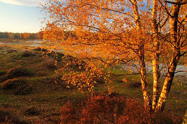Orange birch stock photo