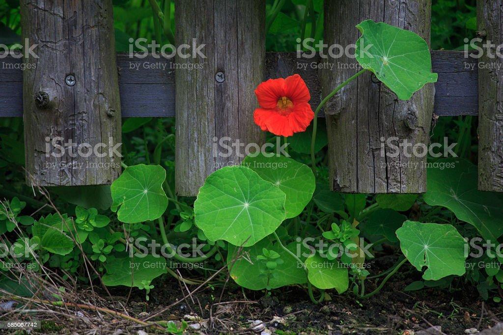 Orange Bloomed Nasturtium stock photo