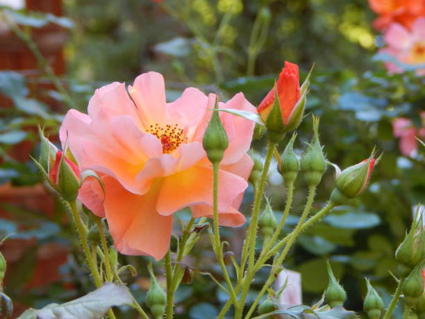 Orange blooming rose with buds picture id1302812178?b=1&k=6&m=1302812178&s=612x612&w=0&h=nl6vnibhjhj9dgoetbihbsxcilfjpzf5w0mteihymju=
