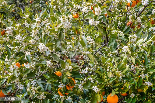 istock Orange blossom in the gardens of Alfabia at the foot of the Tramuntana mountains between Bunyola and Sollér 1326497494