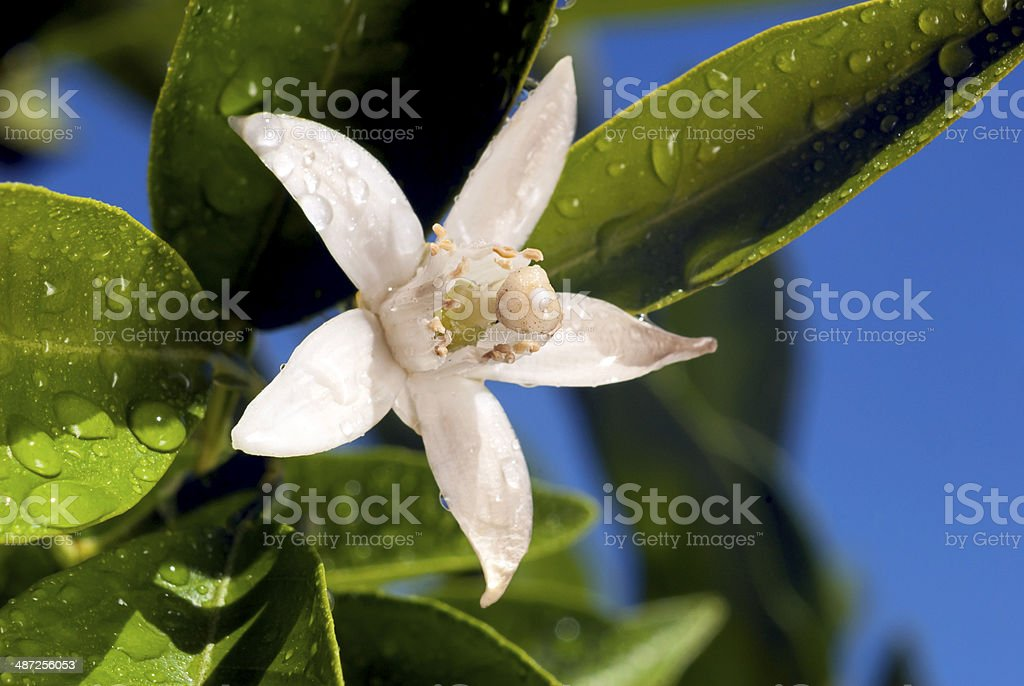 Orange Blossom Macro stock photo