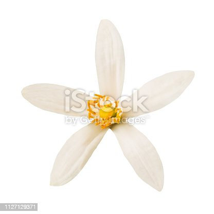 Orange blossom flower isolated on white background