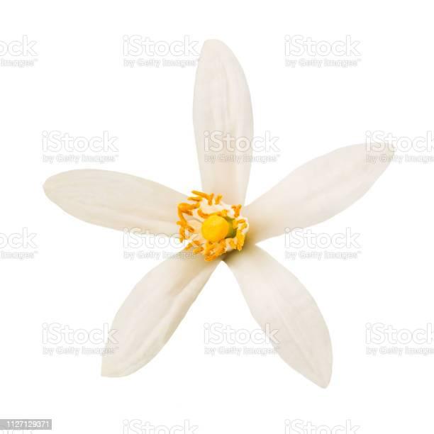 Orange blossom picture id1127129371?b=1&k=6&m=1127129371&s=612x612&h=3tj7lfqhrbil tla80062unzvu8w44l4dl7fjvpicnm=