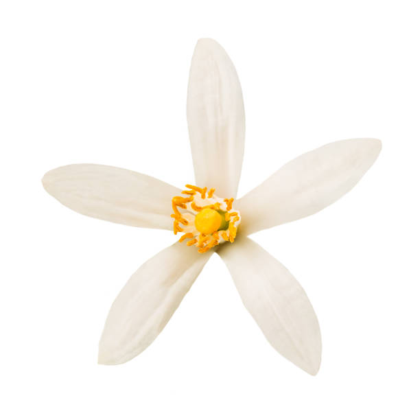 Orange blossom Orange blossom flower isolated on white background flower part stock pictures, royalty-free photos & images