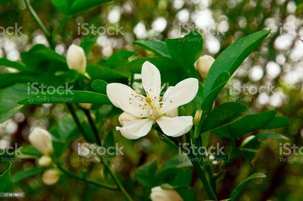 Orange Blossom stock photo