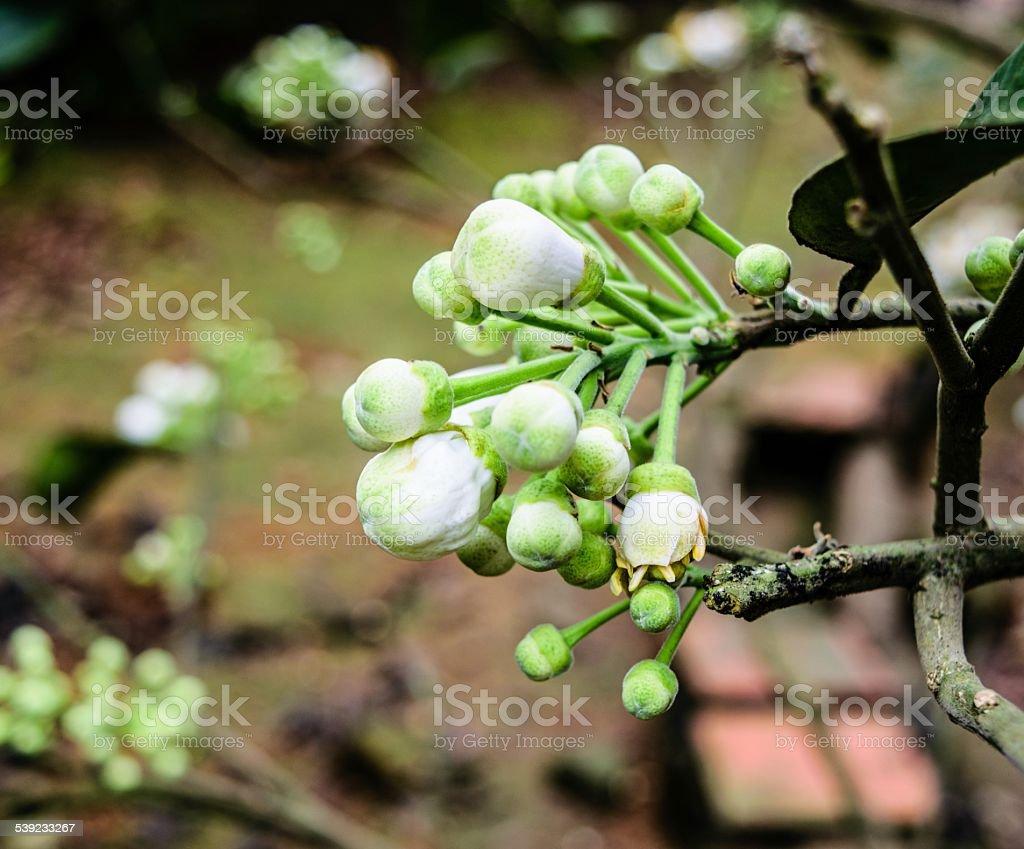 Flor del naranjo, enfoque diferencial en la flor foto de stock libre de derechos
